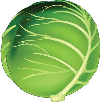 Cabbage Vector Isolated