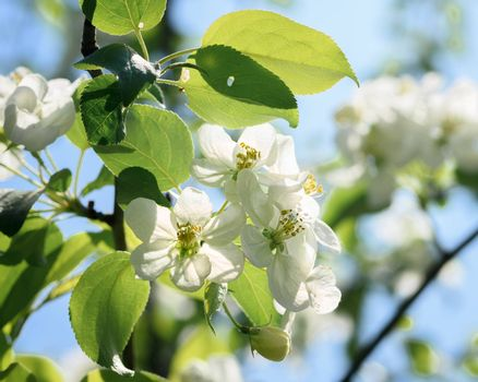 blooming branch of an Apple tree on a Sunny spring day