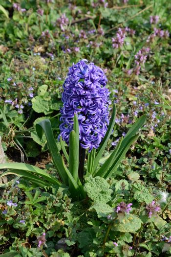 Hyacinth growing in the garden under the tree.
