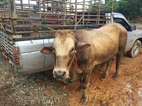 cow in livestock market at subburb in Thailand.