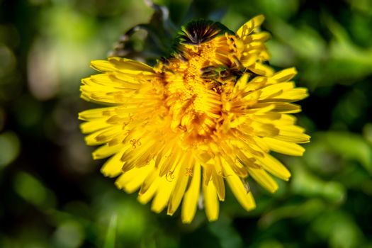 Background of yellow dandelion on green grass