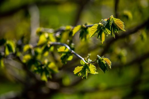 Branches with young leaves of blackcurrant in spring time.