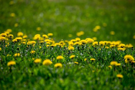 Yellow dandelions on green meadow as background