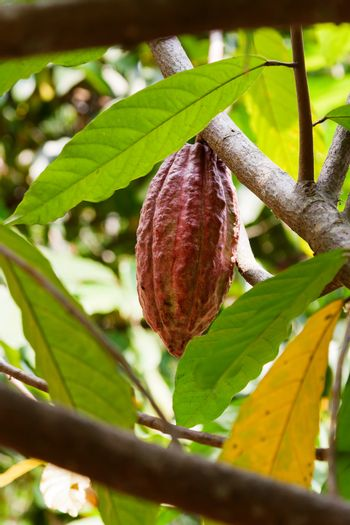 The cacao pod grows on the tree. Natural background.