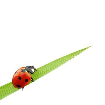 ladybug on grass isolated on white background macro
