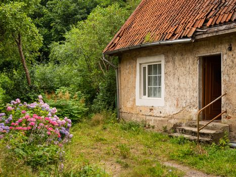 Picturesque old country house with tiled roof . Neglected garden with big bushes of colorful hydrangea flowers.