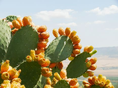 Cactus with edible buds. Tunisia.