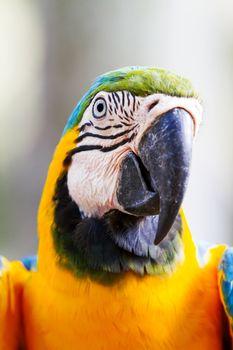 Blue-and-yellow macaw (Ara ararauna), big clever bright parrot.