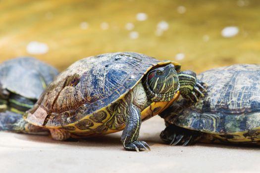The pond slider (Trachemys scripta), common, medium-sized semi-aquatic turtle. Red-eared turtles. Thailand.