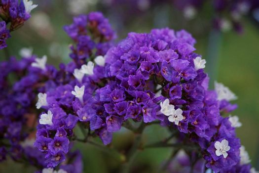 A close-up of beautiful purple sea-lavender blossoms spotted in the garden