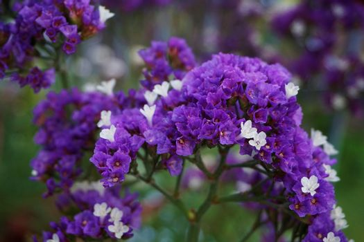 Purple and white Limonium blossoms also known as sea lavender or marsh rosemary