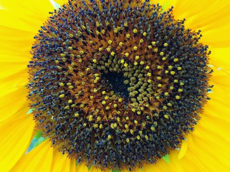 Close-up of the inside of a common sunflower blossom Helianthus annuus