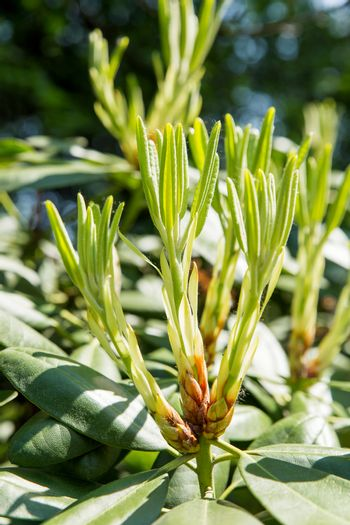 Rhododendron buds and leaves (Ericaceae). Bright flowers on green natural background. Sunny summer morning in garden.