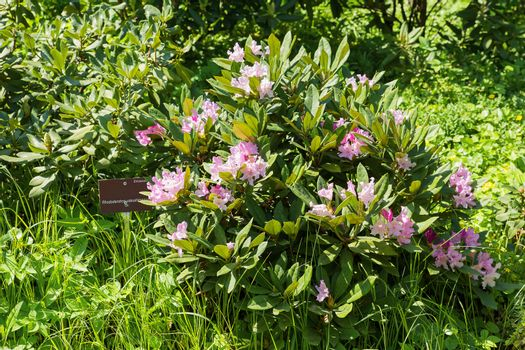 Rhododendron yakushimanum (Ericaceae). Bright flowers on green natural background. Sunny summer morning in garden.