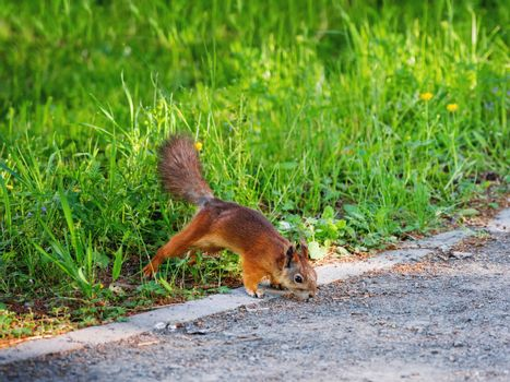 Ginger squirrel in green grass. Rodent is seaching for food. Spring natural background.