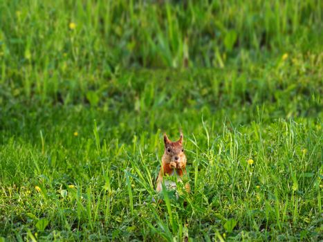 Ginger squirrel sits in green grass. Rodent eating a nut. Spring natural background.