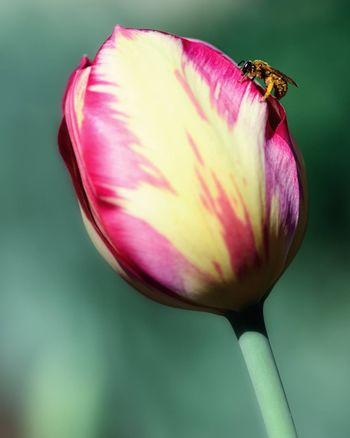 two-color Tulip on a background of green vegetation close-up