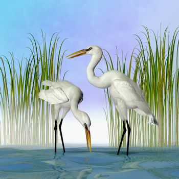 The Great Egret is a tall standing avian waterbird that lives in Asia, the Americas and Europe.