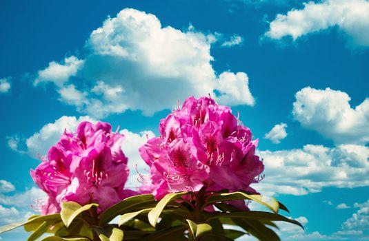 Washington State Native rhododendron flower starting to bloom du