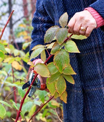 Gardener using a garden pruner cuts and rejuvenates a raspberry bush in an autumn garden for a good harvest next year, image vertical with copy space.