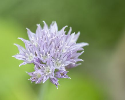 flower of Chives