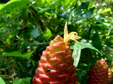 Bitter ginger (Zingiber zerumbet, shampoo ginger, pinecone ginger, awapuhi, lempuyang) is a species of plant in the ginger family. Sometime used as food flavoring and appetizers in various cuisines.