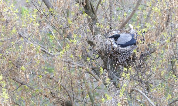 A young crow in early spring made a nest on a tree and incubate chicks