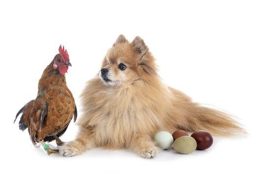 spitz and chicken