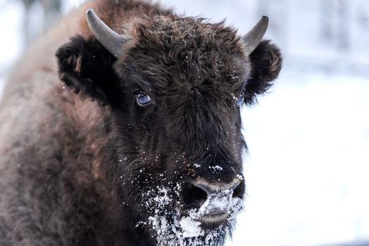 Young European bison (Bison bonasus) Family Portrait Outdoor at Winter Season.