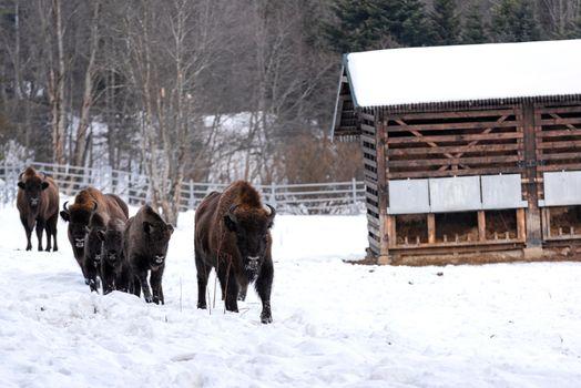 European bison (Bison bonasus) in Reserve at Muczne in Bieszczady Mountains, Poland at Winter Season.