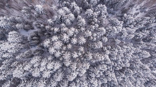 Snow Covered Pine Forest at Winter, Aerial Drone Top Down View.