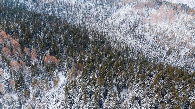 Woodlands on Hills Covered in Fresh Snow. Aerial Drone View.