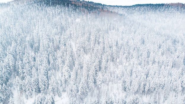 Snow Covered Pine Trees on Hillside in Mountains. Aerial Drone View.