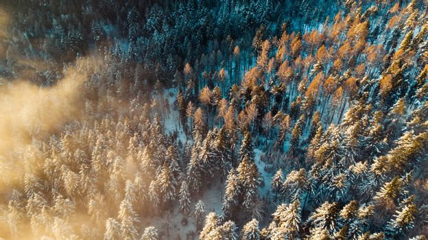 Foggy Morning at Cold Winter. Snowy Pine Trees in Woodland. Aerial View.