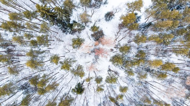 Spruce Trees in Winter Forest, Aerial Drone Top Down View.