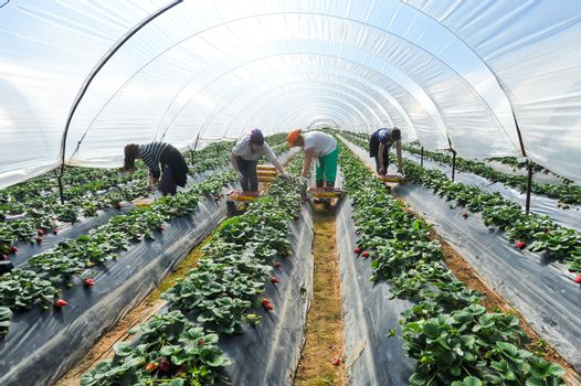 Manolada, Ilia, Greece - March 3, 2016: Immigrant seasonal farm workers (men and women, old and young) pick and package strawberries directly into boxes in the Manolada  of southern Greece.