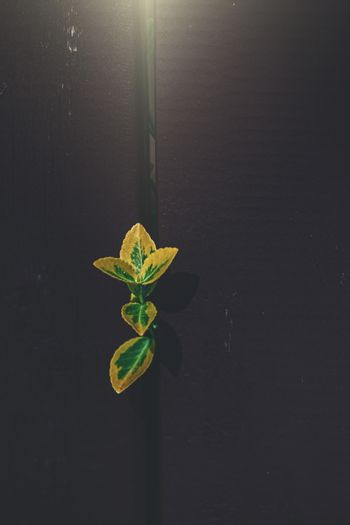 green-yellow plant smoothing between the rungs of a wooden fence