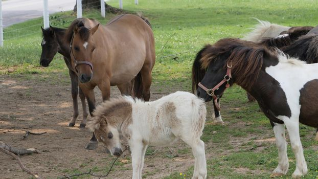 Horses, Ponies and Miniature Ponies playing and Grazing in the Amish Field