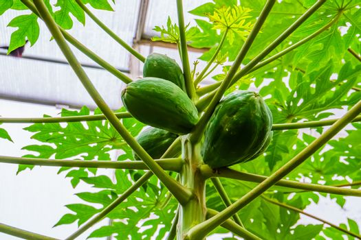 closeup of papayas growing on a papaya plant, tropical fruiting plant specie from America