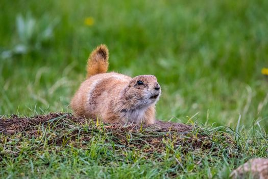 Little herbivorous burrowing rodents in the grassland of the preserve park