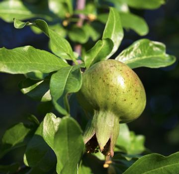 Fresh green young fruit of a pomegranate on a branch against a background of juicy green leaves of a tree