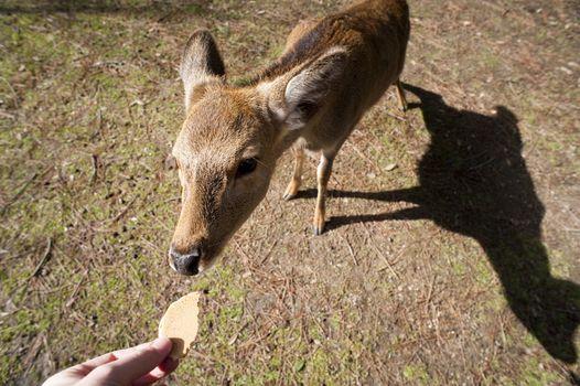 Man feeding a sacred nara deer in Nara, Japan