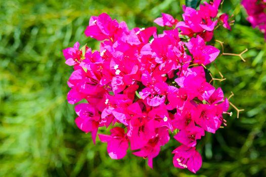 Bush of hydrangea macrophylla red baron flowers.