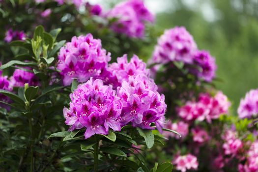 Rhododendron flowers in full bloom during springtime