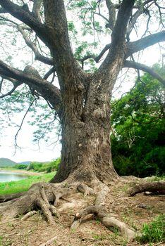 Chamchuri Tree branches, lush tropical trees, refreshing.