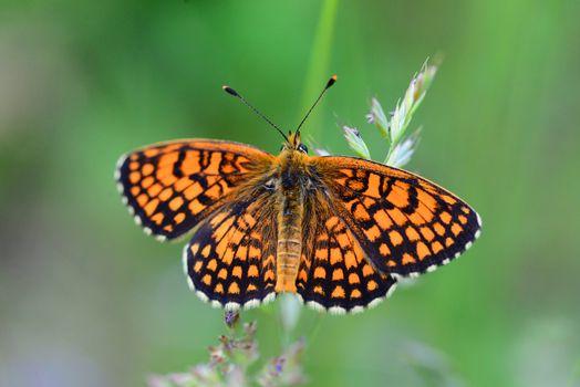 orange butterfly close detail