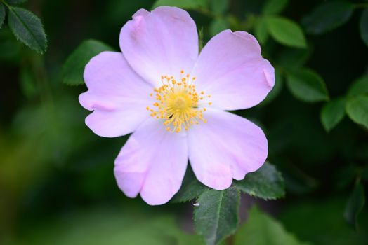 Rosa Canina flower close detail nature background