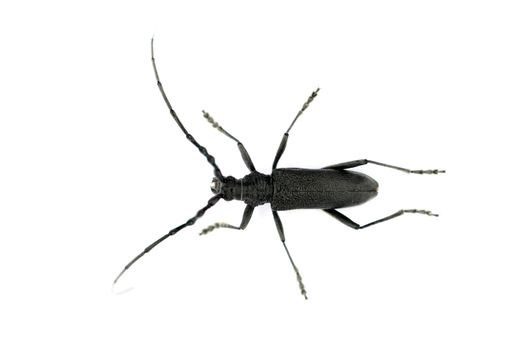 black long-horned beetle Stictoleptura canadensis insect over white
