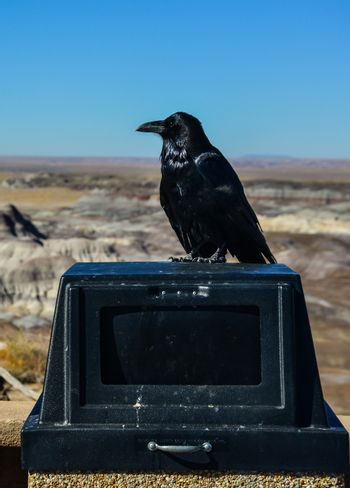 Common Raven on a wall in Arizona's Petrified Forest National Park