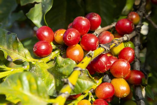 coffee beans at a tree